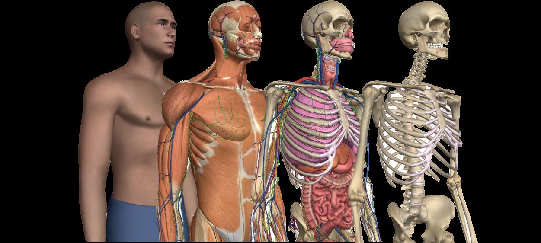 Wunderbar Visuelle Anatomie 3d Zeitgenössisch - Anatomie Von ...